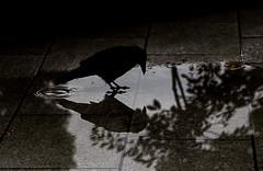 Mirror Mirror (dltaylorjr) Tags: street blackandwhite reflection birds japan flying thought shadows wildlife drinking deep streetlife hiroshima reflect crow thirsty