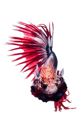 betta fish (da nokkaew) Tags: pet white fish color eye nature water beauty swimming aquarium colorful background exotic tropical pace aquatic fighting betta isolate