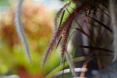 (  / Yorozuna) Tags: plant color grass japan colorful purple bokeh gardening ear niigata horticulture tokamachi poaceae  yellowgreen gramineae redpurple   lensblur         pennisetumsetaceumrubrum toukamachi     pentaxautotakumar55mmf18