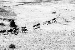 Looking for Water, Omo Valley, Ethiopia (Rod Waddington) Tags: africa blackandwhite water landscape looking cattle african valle valley afrika omovalley ethiopia ethnic ethnicity afrique ethiopian omo etiopia