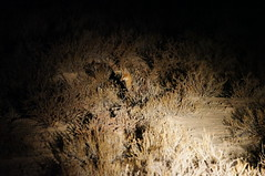 Cape Fox (tim ellis) Tags: holiday animal southafrica fox kalahari northerncape capefox kgalagadi kgalagaditransfrontierpark transfrontierpark vulpeschama tweerivieren raremammals