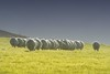 flockr (Shane Jones) Tags: field nikon sheep flock flockr 200400vr d7000