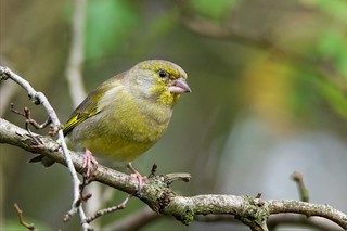 Greenfinch (Explored 10-11-15)