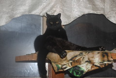 Noah (Patches Madison) Tags: noah black cat photo day fun funny cute lol handsome chillin hangin out ♥ sittin