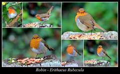 Robins Collage (JDPhotography -) Tags: robin birds collage wwt smallbirds robinredbreast gardenbirds johndavies wwtwales jdphotography wwtllanelli picasa3 canoneos60d llanelliwwt copyrightjohndavies wwtnationalwetlandscentrewales waleswwt tamronsp150600mmf563divcusd