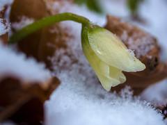 PB220037 (turbok) Tags: alpenpflanzen pflanze pflanzenmitschnee schneeundeis schneerosechristroseoderweihnachtsrosehelleborusniger wildpflanzen c kurt krimberger