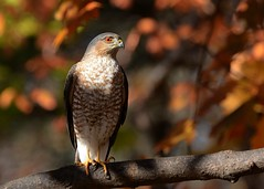 Sharp-shinned Hawk (Explored 11/25/2015) (JDA-Wildlife) Tags: birds nikon explore birdsofprey sharpshinnedhawk hawks explored nikon70300mmf4556gifedafsvr hawksharpshinned nikond7100