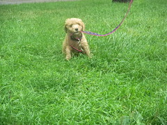 marley-is-one-of-kenzie-and-chewys-f1b-puppies--shes-loving-boston-_4788796584_o