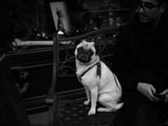 pug ((robcee)) Tags: 2015 25mm bw dog hands lowkey man monochrome pug toronto voigtlander ƒ095 ontario canada exif:make=olympusimagingcorp geo:city=toronto camera:model=em1 geo:state=ontario camera:make=olympusimagingcorp geo:country=canada exif:model=em1 exif:isospeed=200