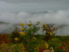 Storm on the way (Dendroica cerulea) Tags: autumn plant ny newyork storm mountains flower clouds fav20 foliage fav30 asteraceae tansy greenecounty tanacetum catskillmountains fav10 tanacetumvulgare asterales asteroideae anthemideae captainsinnpointlookout