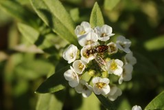 5Q7A5208 (smo2000) Tags: white flower green fall yellow bug pattern sweet outdoor center bee tiny kansas organic alyssum