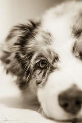 _MG_0448-2 (Amandine Prunier (Photographe)) Tags: dog photography 50mm australian aussie sheperd
