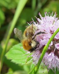 Bombus humilis male - Broadhaven Dunes, Pembrokeshire 2016b (Steven Falk) Tags: bombus humilis brownbanded carder bee apidae steven falk