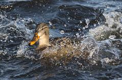 Splash Down (swmartz) Tags: ducks december mallards outdoors nikon newjersey nature duck birds belmar