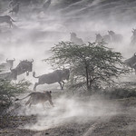 Female lion chasing the migrating wildebeest this morning at Ndutu, Tanzania, East Africa thumbnail