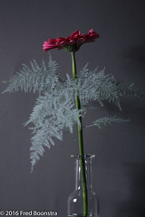 "In a bottle ""Pink Gerbera"" (A.J. Boonstra) Tags: gerbera flower flowers canon canoneos canon70d ef100mmf28lmacroisusm falconeyesskk2150d elinchrom closeup asparagussetaceus"