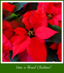 """Christmas, my child, is love in action. Every time we love, every time we give, it's Christmas.""  - Dale Evans  -  Explored (Trinimusic2008 - stay blessed) Tags: trinimusic2008 judymeikle nature card pointsetta red flowers dedication december 2016 toronto to ontario canada merrychristmas joyeuxnoël"