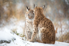 Lynx Love II (Anita Price Foto) Tags: lynxkitten lynxlynx lynxcub lynxbaby lynx kittens cats animals nature wildlife golden winter snow love norway anitaprice bokeh friends outside outdoor animal ngc npc specanimal specanimalphotooftheday