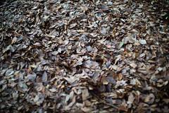 winter ground (kasa51) Tags: fallenleaves deadleaves ground winter tokyo japan nikkorsauto50mmf14 tree