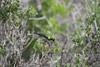 DSC_7236 (mylesm00re) Tags: m africa cinnyrischalybeus kleinrooibandsuikerbekkie nectariniidae sanparks southafrica southerndoublecollaredsunbird westcoastnationalpark westerncape bird
