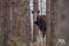 Moose Cow (fascinationwildlife) Tags: animal mammal poland polen wild wildlife nature winter forest tree moose cow female elusive natur national park evening dusk biebrza shy elch