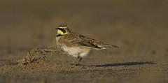 Shore Lark (Horned Lark) (J J McHale) Tags: shorelark lark hornedlark bird fife scotland nature wildlife eremophilaalpestris