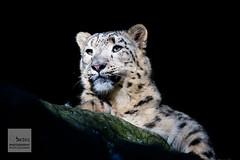 Tiere vor der Kamera - Schneeleopard