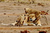 Lioness with cubs (Peet van Schalkwyk) Tags: lion cubs addo southafrica bigfive