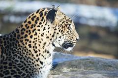 Sri Lanka Panter-Sri Lanka Panther (Panthera pardus kotiya) (Bram Reinders(on-off)) Tags: srilankapanter srilankapanther pantheraparduskotiya burgerszoo dierentuin zoo nature wildlife curiosityisthesourceofallknowledge nieuwsgierigheidisdebronvanallekennis groningen holland nederland thenetherlands nikond600 tamronsp150600mmf563divcusd tamron tamron150600 150600 nikon ©bramreindersdelfzijl bramreinders bram reinders delfzijl wwwbramreindersnl