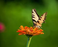 Orange n Green.. (zoomclic) Tags: canon closeup colorful bokeh butterfly flower foliage flowers orange outdoors yellow black dreamy dof nature soft summer zinnia 5dmarkii ef100400mmf4556lisusm green garden