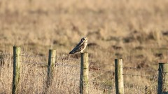 short eared owl on post (aaron19882010) Tags: short eared owl burwell fen cambridgeshire newmarket canon 750d sigma 600mm post wings grey brown white grass reeds barbwire nature wildlife outdoor outdoors hunter killer european birdofprey prey