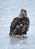 DSC_0145.jpg (TimsLens) Tags: americanbaldeagle timslens youngeagle baldeagle altoneaglewatch eagle eagleonice
