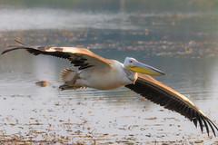 Great white pelican (Santanu Sen) Tags: animal bird wildlife pelican rosypelican easternwhitepelican greatwhitepelican whitepelican birdinflight bif