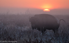 Greeting Sunrise at -5*F (OJeffrey Photography) Tags: rockymountainarsenal bison buffalo snow sunrise golden colorado co coloradowildlife nikon d500 ojeffrey ojeffreyphotography jeffowens