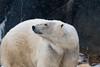 Polar Bear 89 (cypher40k Photography) Tags: arctic bear color colour nikon polar polarbear toronto torontozoo zoo