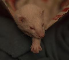 Nala (lauriepetsitterparis) Tags: pitch nala simba animaux cute mignon furet fufu domestique albinos silver zibeline petsitter furetsitter