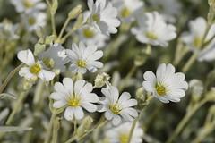 Snow-In-Summer (mikeinportc) Tags: white flowers snowinsummer ceratium tomentosum june