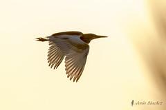 Garcilla cangrejera (Ardeola ralloides) (jsnchezyage) Tags: garcillacangrejera ardeolaralloides ave pájaro fauna naturaleza birding bird vuelo