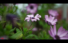 Morning Happiness (pRaTuL rAgHaV) Tags: morning vacation italy flower nature 35mm lens prime droplets nikon holidays europe dof bokeh depthoffield dew greenery cinqueterre nikkor vernazza freshness d800 f2d hbw linguria bokehlicious happybokehwednesday bokehrama