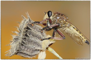 Red-footed cannibal Robber fly