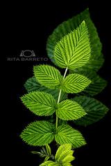 VERDE (Rita Barreto) Tags: verde planta folhas flora natureza jardim botnica folhasverde