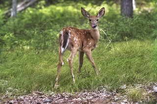 Whitetail Fawn Lick