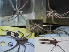 Sparassidae>Pediana regina? Bark Huntsman DSCF7442comp (Bill & Mark Bell) Tags: exmouth westernaustralia australia geo:town=exmouth geo:state=westernaustralia geo:country=australia geo:lon=11425453egeolat2217752sgeoalt8m 11425453e2217752salt8m taxonomy:kingdom=animalia animalia taxonomy:phylum=arthropoda arthropoda taxonomy:class=arachnida arachnida taxonomy:order=araneae araneae taxonomy:family=sparassidae sparassidae taxonomy:genus=pediana pediana regina taxonomybinomialnamepedianaregina pedianaregina taxonomycommonnamebarkhuntsman barkhuntsman spider animal fauna