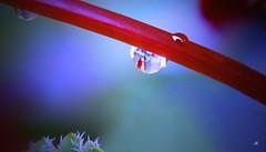 """Wolkentraan. --  """"In Explore"""" (mia_moreau) Tags: nederland tuin rood regen limburg druppel reflectie stengel spiegeling zuidlimburg regendruppel steeltje bloemensteeltje"""