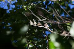 IMG_0746.jpg (erik oosterop) Tags: ontario canada fauna butterfly insect can leamington floraandfauna monarchdanausplexippus
