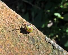 Bug Help (Bricheno) Tags: macro bug insect scotland glasgow escocia stinkbug westend szkocja kelvingrove schottland shieldbug scozia cosse identified  esccia   bricheno scoia