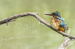 alcedo atthis (Josep M.Toset) Tags: fauna nikon catalunya blau aus arbre animalia ocells alcedo alcedinidae chordata coraciiformes d7100 aerodinàmic josepmtoset ribera·debre tamron150600mm ocell·aquàtic