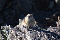 September 19, 2015 - An American Pika keeps watch on Trail Ridge Road. (Bobby H)