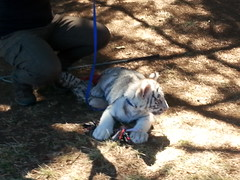 20150919_115801 (mjfmjfmjf) Tags: oregon zoo tigercub 2015 greatcatsworldpark