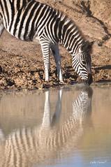 Zèbre, Kwantu, Afrique du Sud (Cathy'c) Tags: africa lion animaux gazelle enfant sauvage afriquedusud savane
